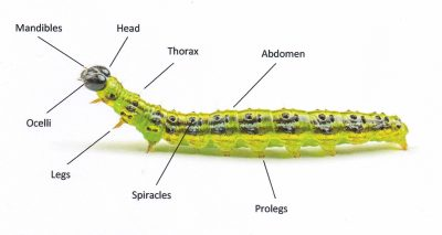 Caterpillar with labels