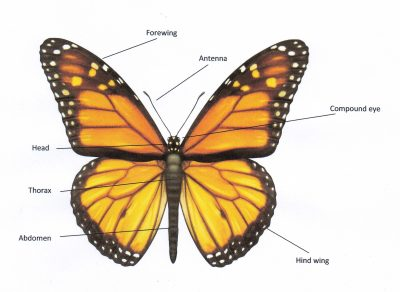 Butterfly with Labels