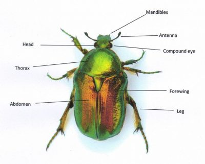 Green Beetle with labels